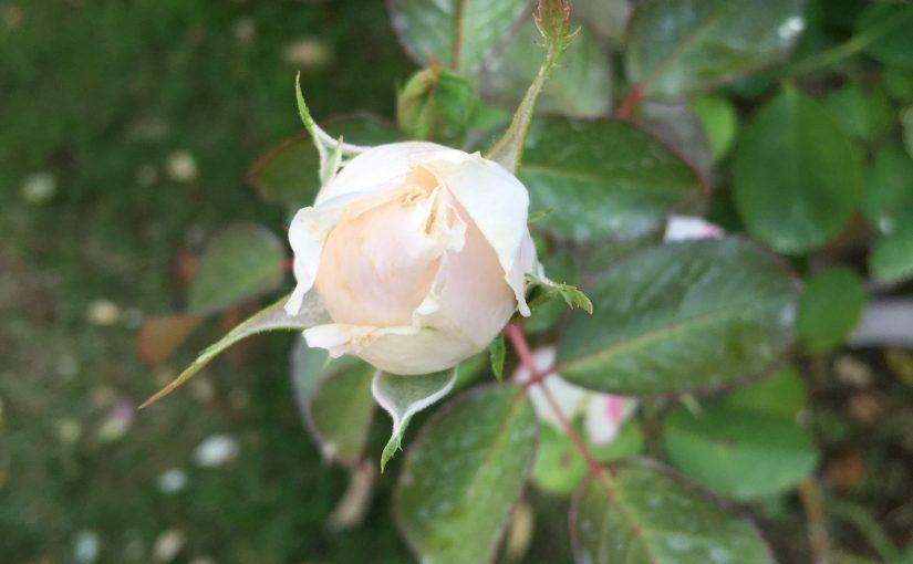 河津バガテル公園: バラの香り
