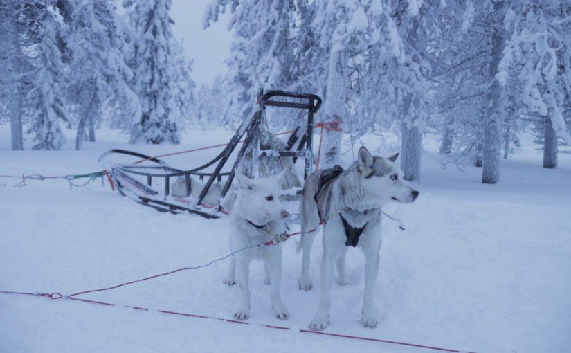 サーリセルカで犬ぞり体験-フィンランド旅行記